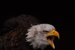 Le cri perçant Photo libre de droits