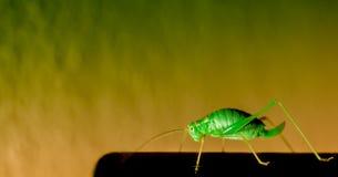 Le cricket Photos stock