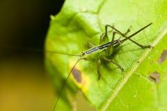 Le cricket vert avec l'épée a formé la queue et l'insecte de transitoires, de sauterelle ou de sauterelle attachés à une macro ph image stock