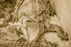 Le crocodile affamé est bouche ouverte et nourriture de attente dans la race Images stock