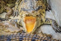 Le crocodile affamé est bouche ouverte et nourriture de attente dans la race Image libre de droits