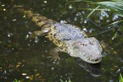 Le crocodile de Morelet Photographie stock libre de droits