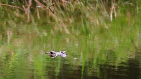 Le crocodile de Morelet Photos libres de droits