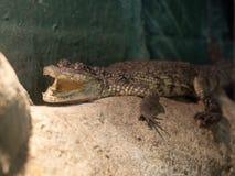 Le crocodile de Morelet (Crocodylus Moreletii) Photos libres de droits