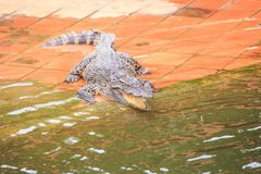 Le crocodile de plan rapproché avec la bouche ouverte se trouve sur la terre par l'eau Photos stock