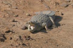 Le crocodile du Nil s'il vous plaît a mis votre pied dedans Images libres de droits