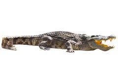 Le crocodile les prennent un bain de soleil Photographie stock libre de droits