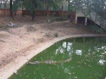 Le crocodile nageait dans l'étang Photo libre de droits