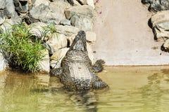 Le crocodile a rampé hors de l'eau et de se dorer au soleil Preda Photo libre de droits