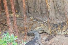 Le crocodile sauvage pondant des oeufs dans l'alligator de nid de paille est frai Images stock