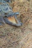 Le crocodile sauvage pondant des oeufs dans l'alligator de nid de paille est frai Photographie stock