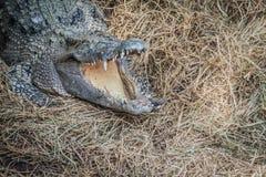 Le crocodile sauvage pondant des oeufs dans l'alligator de nid de paille est frai Photo stock