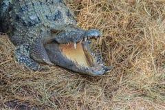 Le crocodile sauvage pondant des oeufs dans l'alligator de nid de paille est frai Photo libre de droits