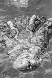 Le crocodile terrible émerge de l'eau avec une grimace toothy Images stock