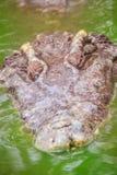 Le crocodile terrible émerge de l'eau avec une grimace toothy Image libre de droits