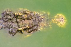 Le crocodile terrible émerge de l'eau pour attaquer la proie Photographie stock