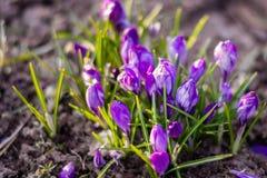 Le crocus bleu fleurit au sol avec sélectif/doucement le foyer Photographie stock