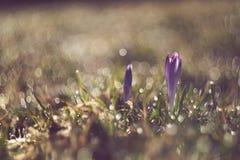 Le crocus décolorent des fleurs images libres de droits