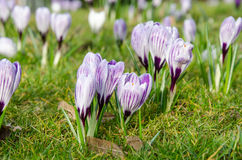 Le crocus de safran fleurit l'ouverture Photo libre de droits