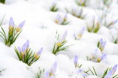 Le crocus fleurit l'émergence par la neige en premier ressort Image libre de droits