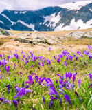 Le crocus fleurit sept lacs Rila en Bulgarie Photos libres de droits