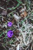 Le crocus, les crocus pluriels ou le croci est un genre des usines fleurissantes dans la famille d'iris images stock