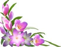 Le crocus lilas fleurit coin d'isolement sur le blanc Photo stock
