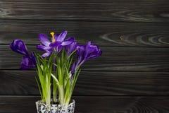 Le crocus pourpre de fleur dans les feuilles de pot sont fond en bois de feuilles de pistil de noir vert d'étamine Images stock