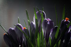 Le crocus sur un fond noir, beau ressort fleurit, perce-neige Photos libres de droits