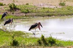 Le crumenifer de Leptoptilos de cigogne de marabout Image stock