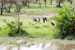 Le crumenifer de Leptoptilos de cigogne de marabout Image libre de droits