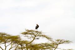 Le crumenifer de Leptoptilos de cigogne de marabout dans un arbre Image libre de droits