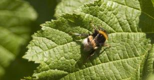 Le cuir épais suivi gaffent le Bombus Terrestris d'abeille Photos libres de droits