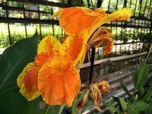 Le cultivar de hybrida de Canna avec le jaune orange fleurit le rouge chiné Image libre de droits