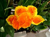 Le cultivar de hybrida de Canna avec le jaune orange fleurit le rouge chiné Image stock