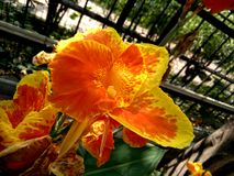 Le cultivar de hybrida de Canna avec le jaune orange fleurit le rouge chiné Images libres de droits