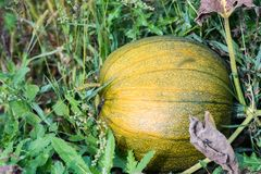 Le cultivar de potiron se développent sur la vigne sous les feuilles dans le jardin Photographie stock libre de droits