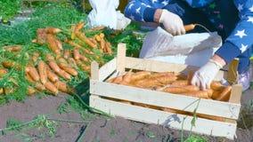Le cultivateur assortit la culture fraîchement creusée de carotte clips vidéos