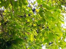 Le cumini de syzygium de prune de Jambolan généralement connu sous le nom de prune ou jamun noire est un arbre tropical à feuille photo libre de droits