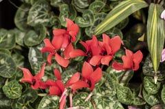Le cyclamen persan est une plante vivace herbacée fleurissante images stock