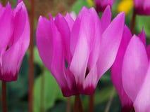 le cyclamen rose fleurit au printemps la saison avec beaucoup de couleurs vives Photo libre de droits