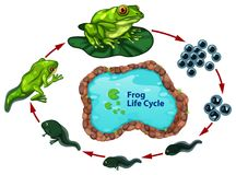 Le cycle de vie de grenouille illustration stock