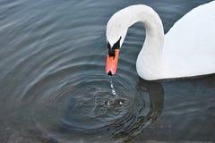 Le cygne a émergé de l'eau Images libres de droits