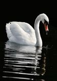 Le cygne photo stock