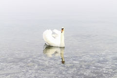 Le cygne Photographie stock