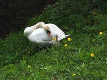 Le cygne adulte de père prend soin d'un petit cygne de bébé photo libre de droits