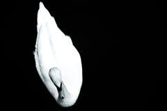 Le cygne blanc Photo libre de droits