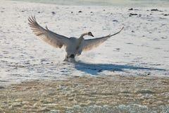 Le cygne blanc de l'hiver Photo libre de droits