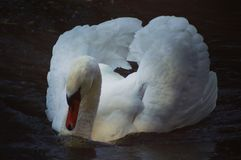 Le cygne blanc faisant une boucle aux it's possèdent la réflexion dans l'eau Photographie stock