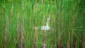 Le cygne blanc hache des oeufs sur le nid banque de vidéos